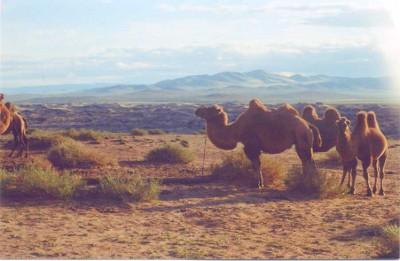 mongolia-cammelli
